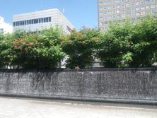 西2丁目アメリカノウゼンカズラの画像