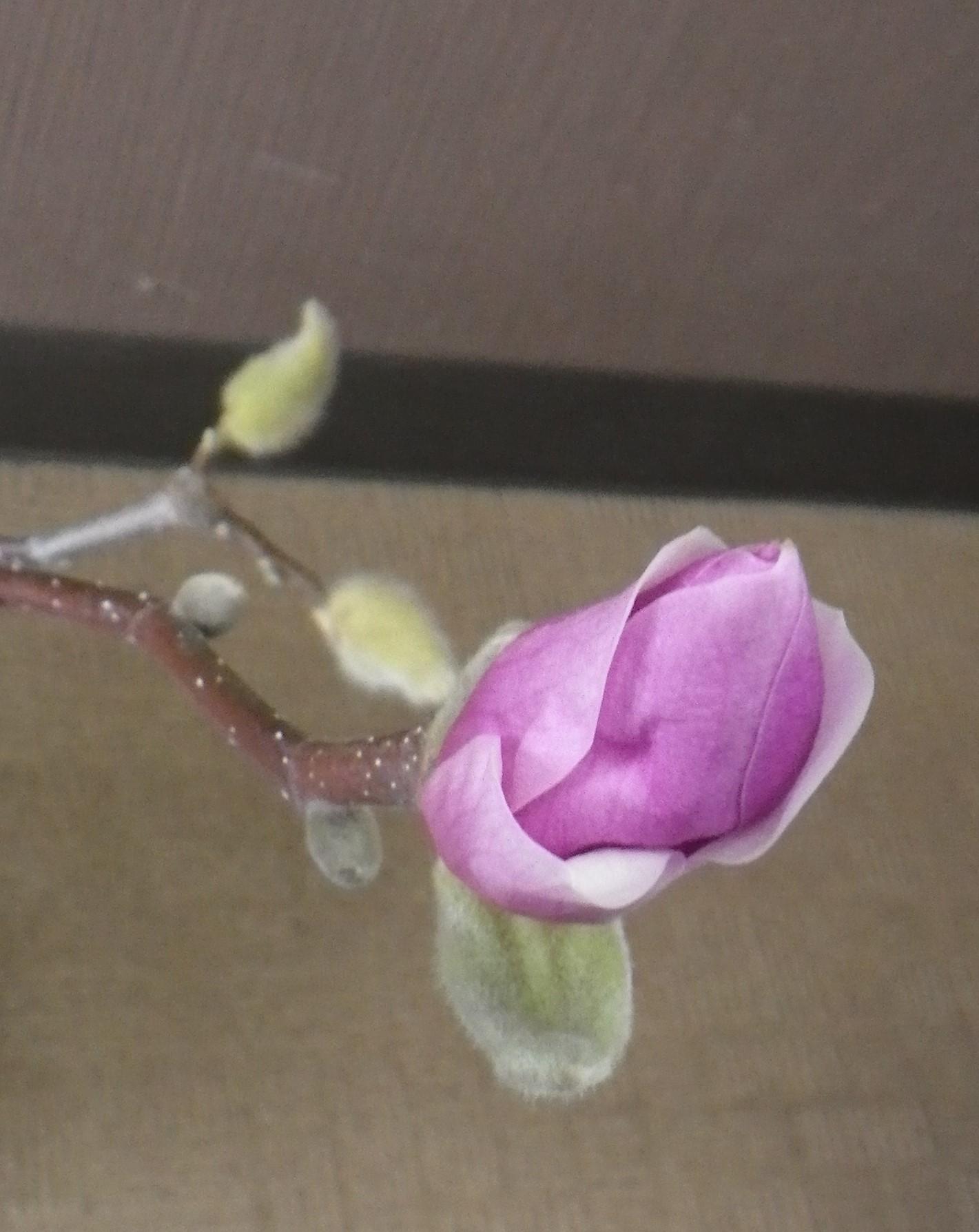 もうひとつの花びらが緩み始めたサラサモクレンのアップの2月11日の画像