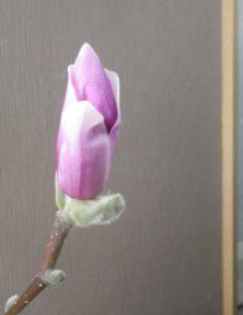 花びらが緩み始めたサラサモクレンのアップの2月11日の画像1