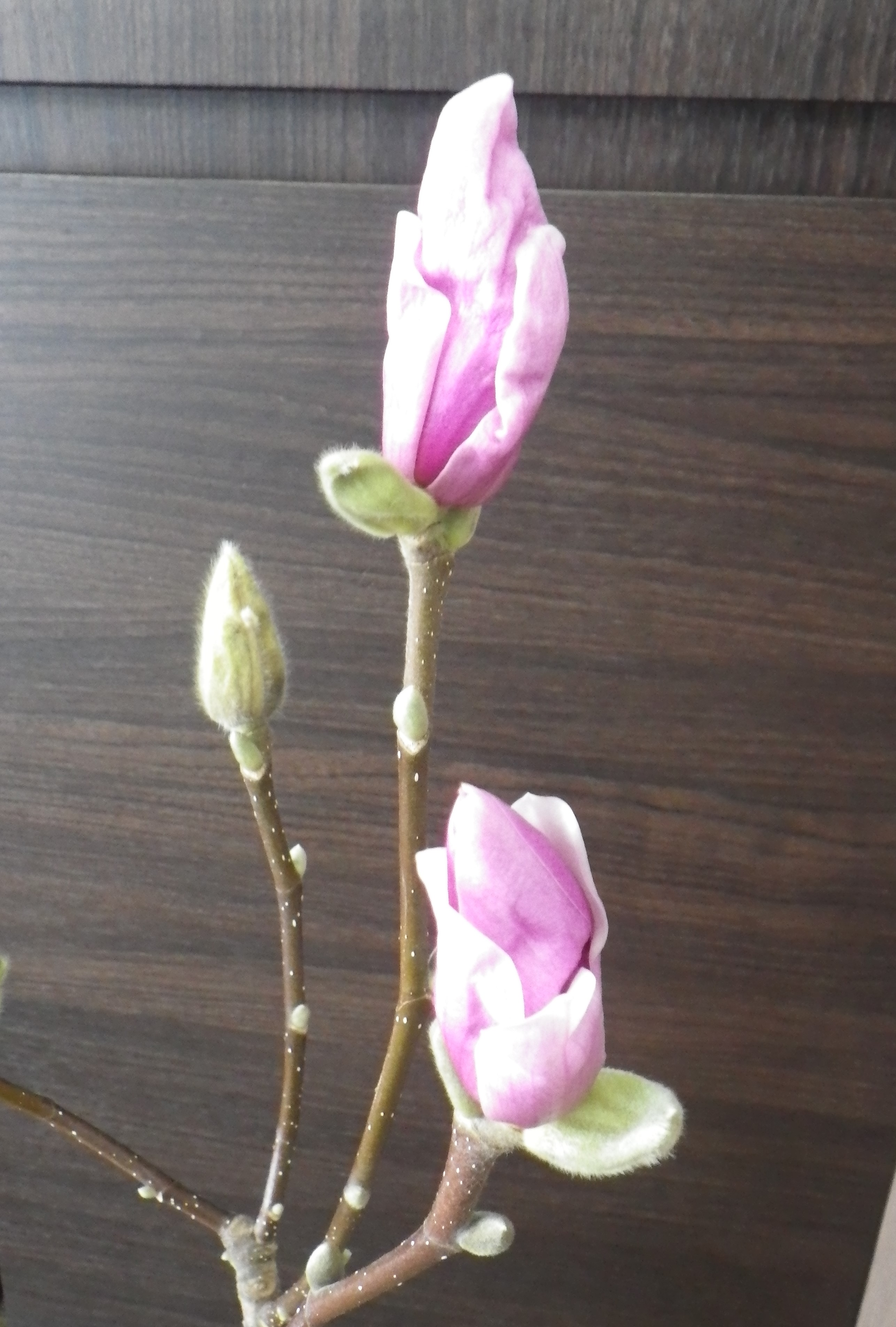 花びらが緩み始めた2つのサラサモクレンのアップの2月12日の画像