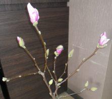 ピンクの花びらが見える4つのサラサモクレンの2月15日の画像