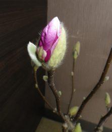 4番目にピンクの花びらが見えたサラサモクレンの蕾の2月15日の画像