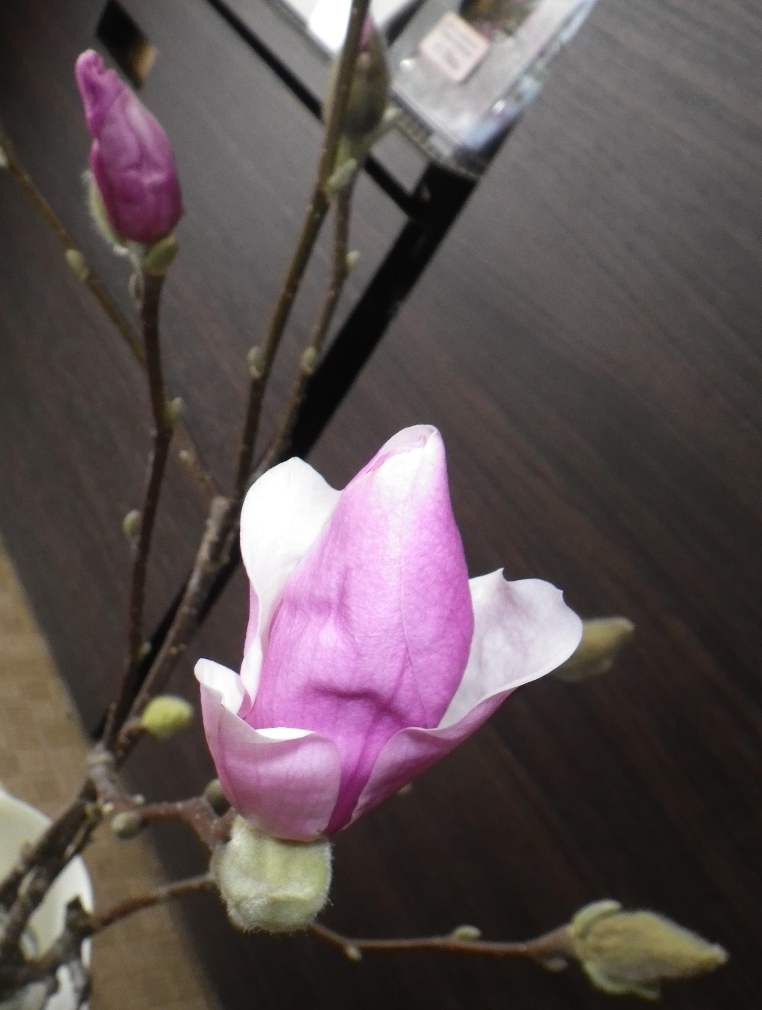 花びらが開いてきているサラサモクレンの2月15日の画像