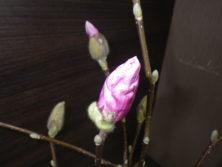 3番目に色づいたサラサモクレンの蕾の2月16日の画像