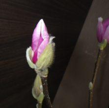 4番目に色づいたサラサモクレンの蕾の2月16日の画像
