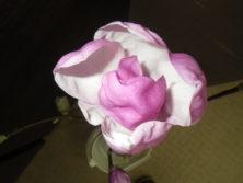 サラサモクレンが開花した上からの2月16日の画像