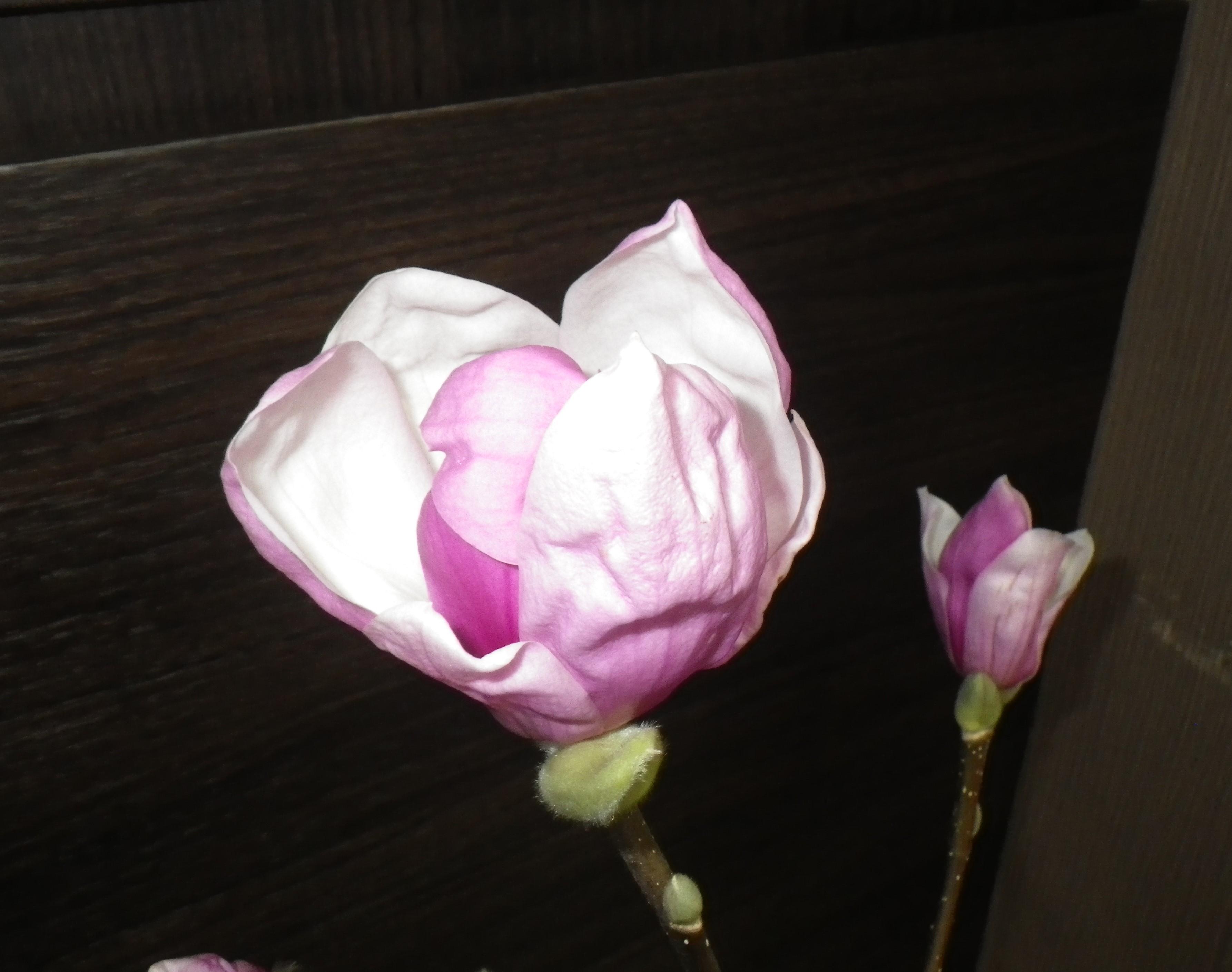 開花したサラサモクレン横からの2月16日の画像