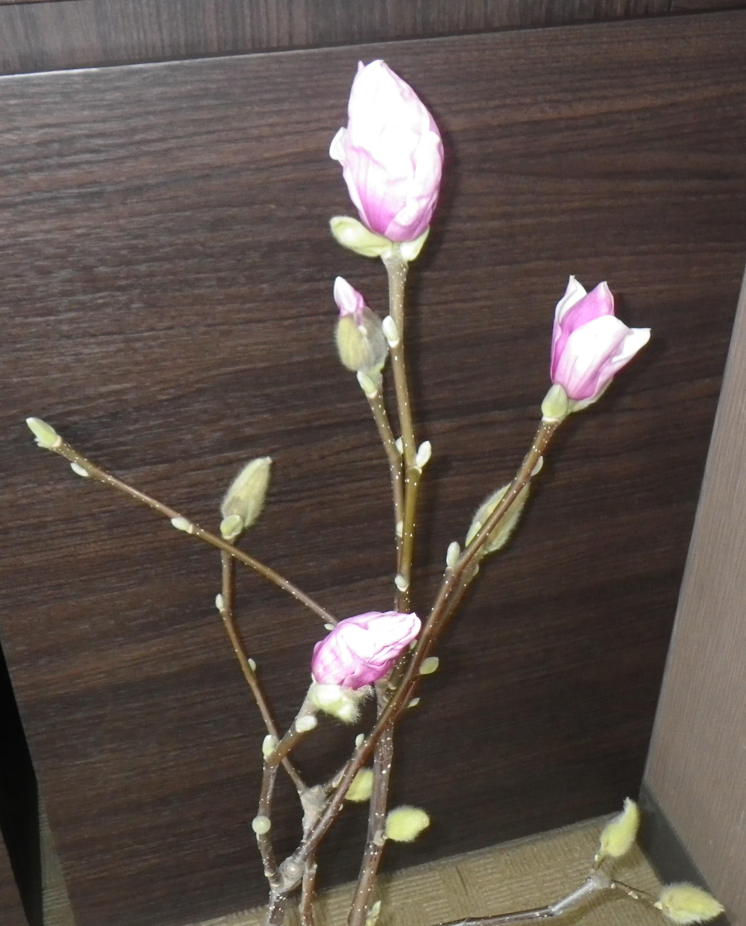 2つ花びらが開き始め、2つ色づいているサラサモクレンの2月16日の画像
