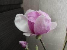 花が開いた1番最初に色づいたサラサモクレン2月18日の画像