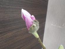 少し花びらが見えている4番目に色づいたサラサモクレンの2月18日の画像
