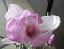 最初に咲いたサラサモクレンの花の中に雄しべと雌しべが見える2月19日の画像
