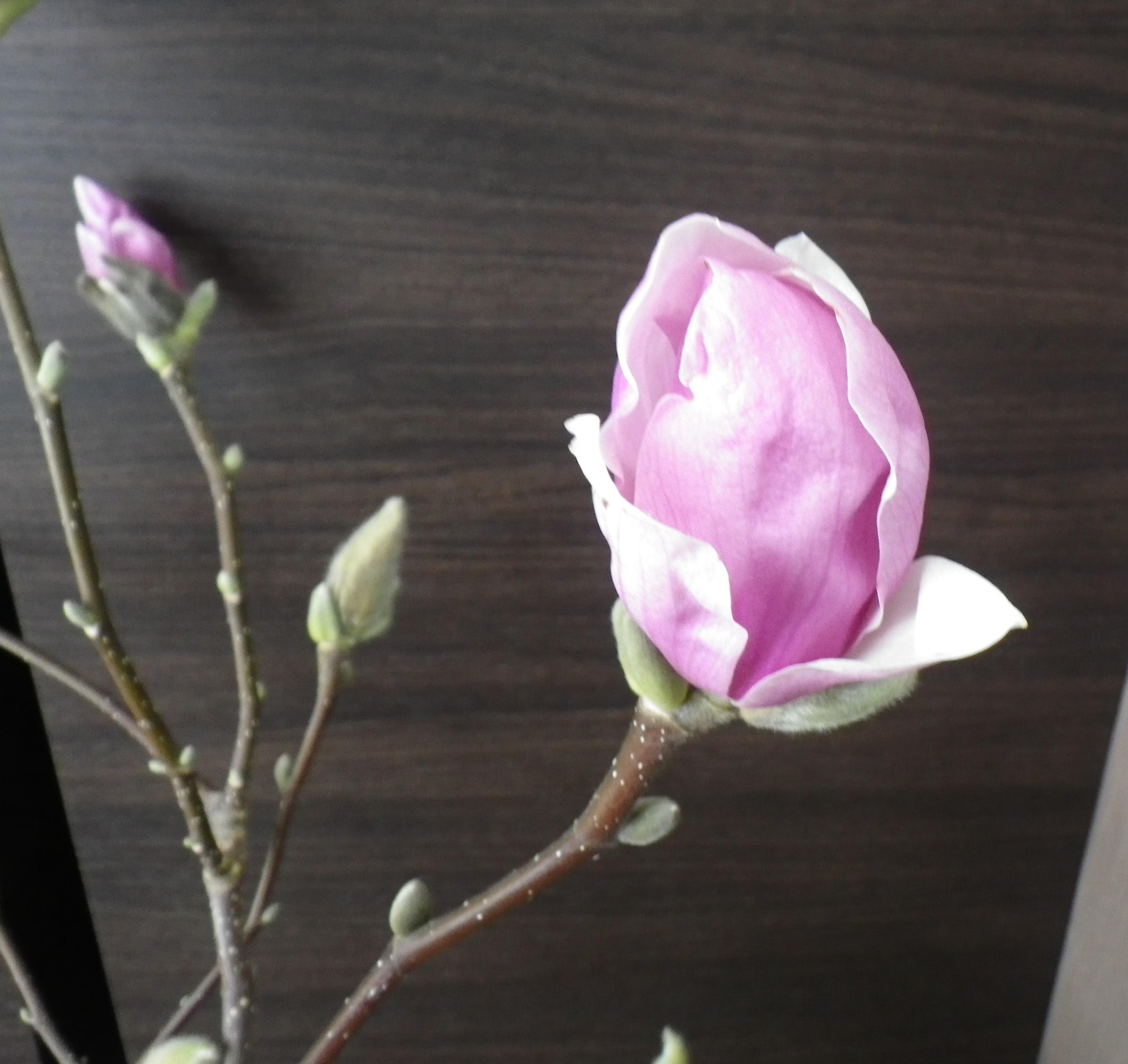 花びらが開いてきた2番目に色づいたサラサモクレンの2月19日の画像