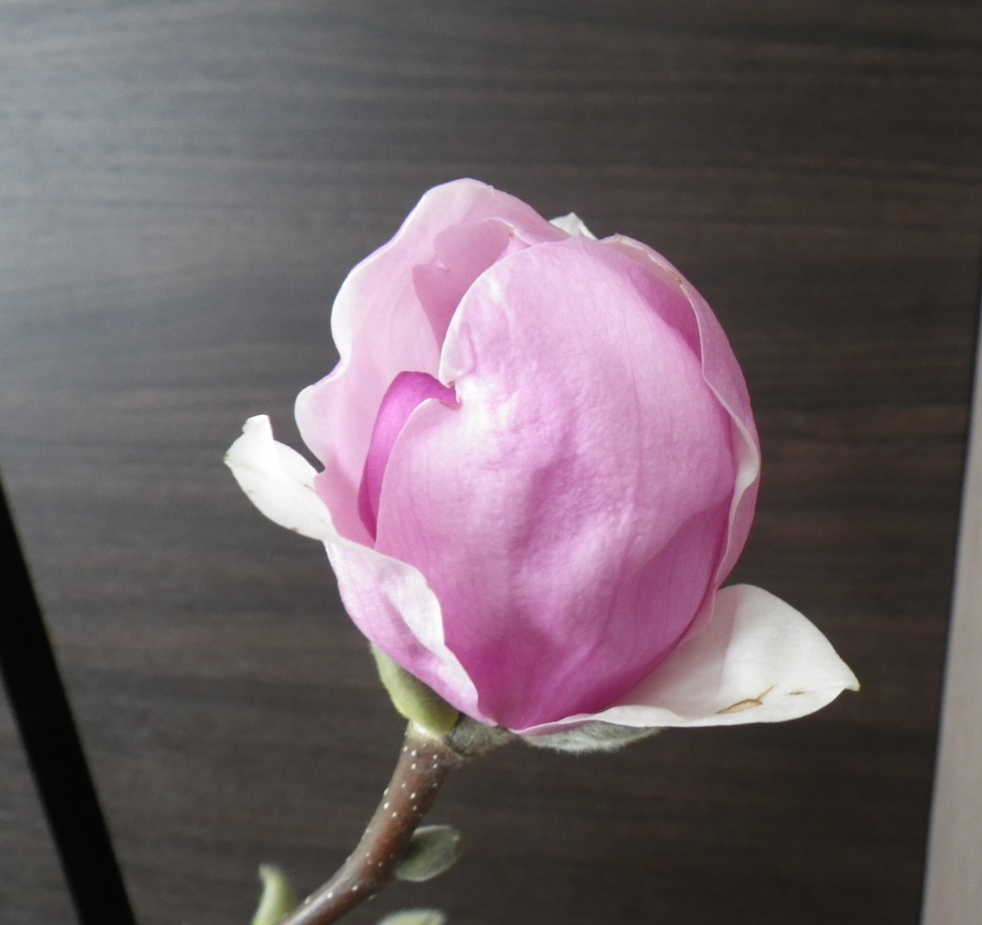 2番目に色づいたサラサモクレンの花びらが開きもうすぐ咲きそうな2月20日の画像