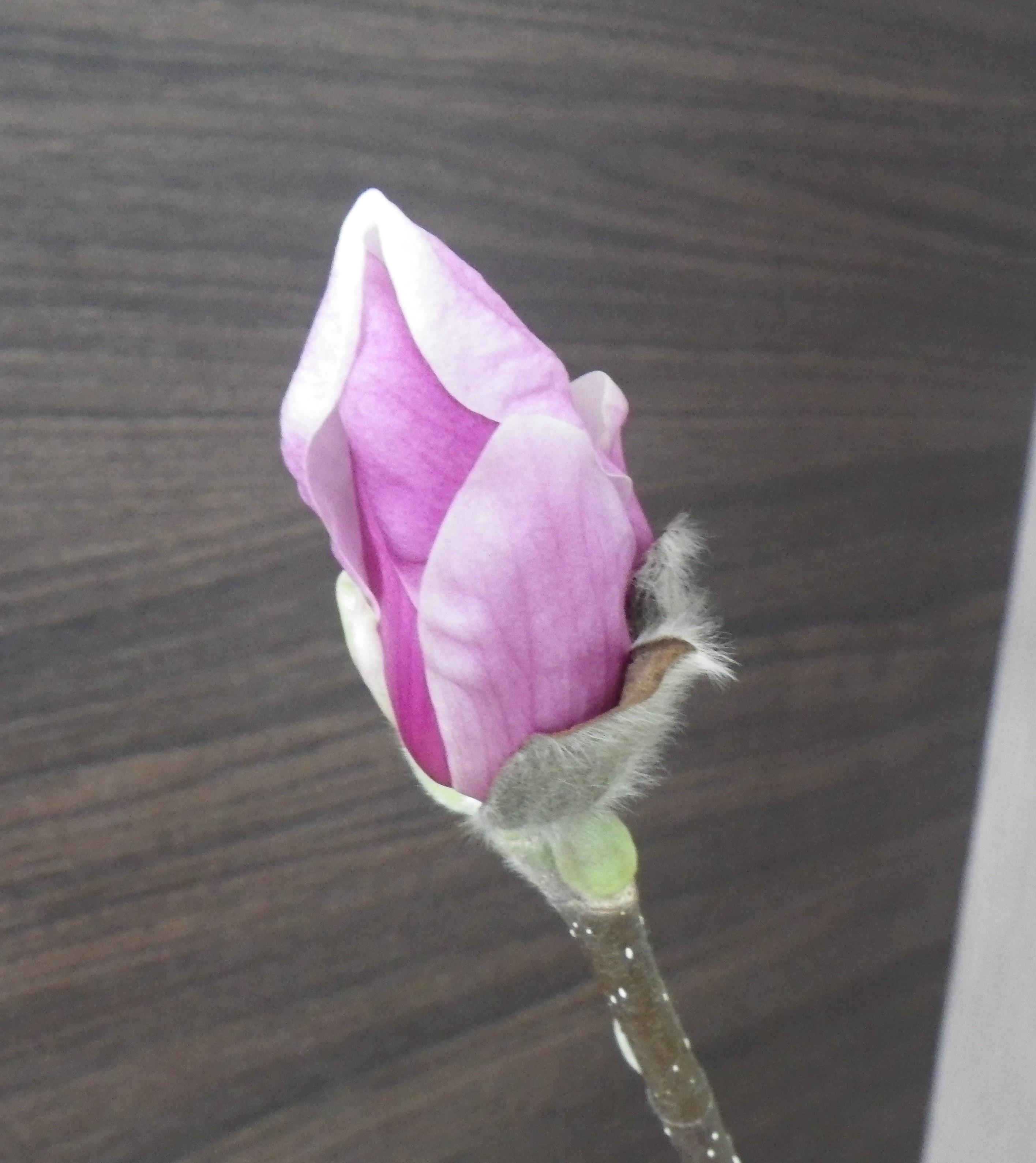 4番目に色づいたサラサモクレンの蕾が緩んでいる2月20日の画像