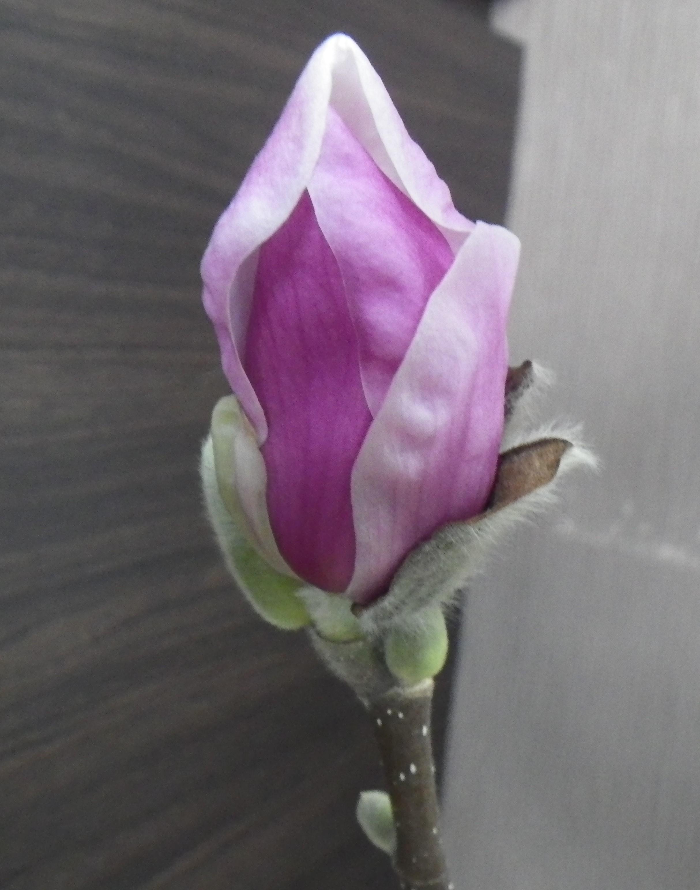4番目に色づいたサラサモクレンの蕾が緩んで花びらが開きそうな2月22日の画像