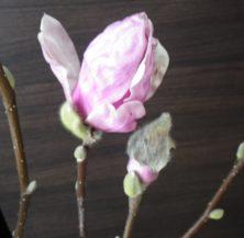 3番目に色き花が開きかけているサラサモクレンと6番目に色づいた蕾の2月25日の画像