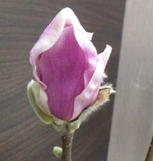 花びらが開き始めている4番目に色づいたサラサモクレン2月25日の画像