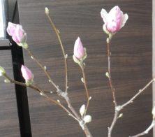 サラサモクレンの4つの蕾の2月26日の画像