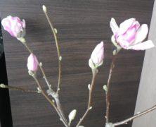サラサモクレンの4つの蕾の2月28日の画像