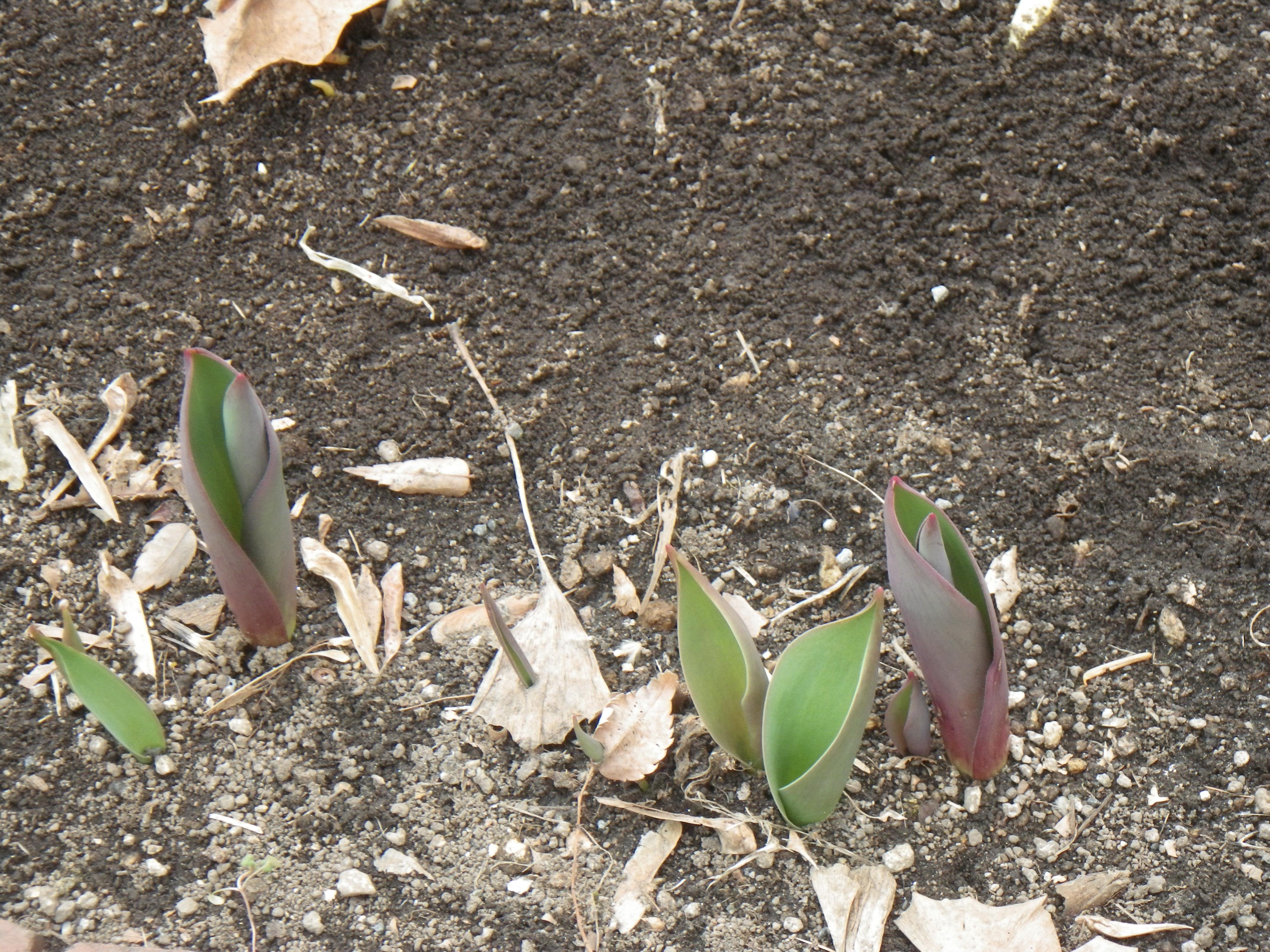10センチほどに育ったチューリップの芽の画像