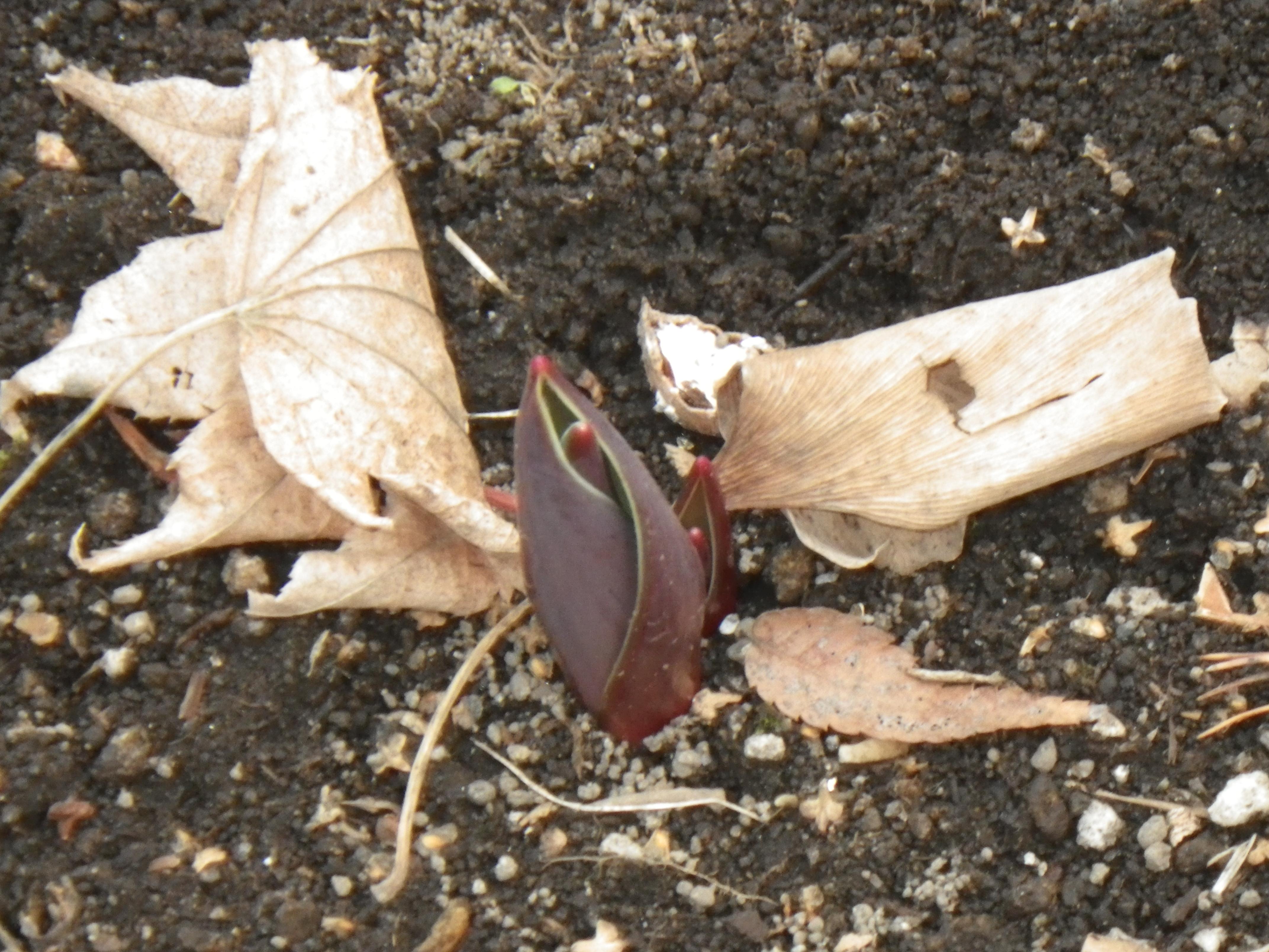 3センチほど芽が出たチューリップの画像
