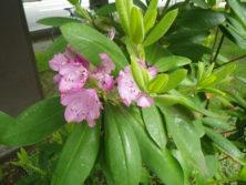 西6丁目北側シャクナゲの花が咲いている画像