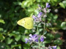 0811蝶とネペタ