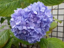0818紫陽花