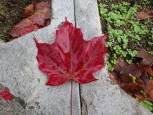 1011サトウカエデの葉