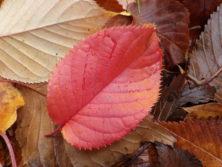 1011エゾヤマザクラの葉
