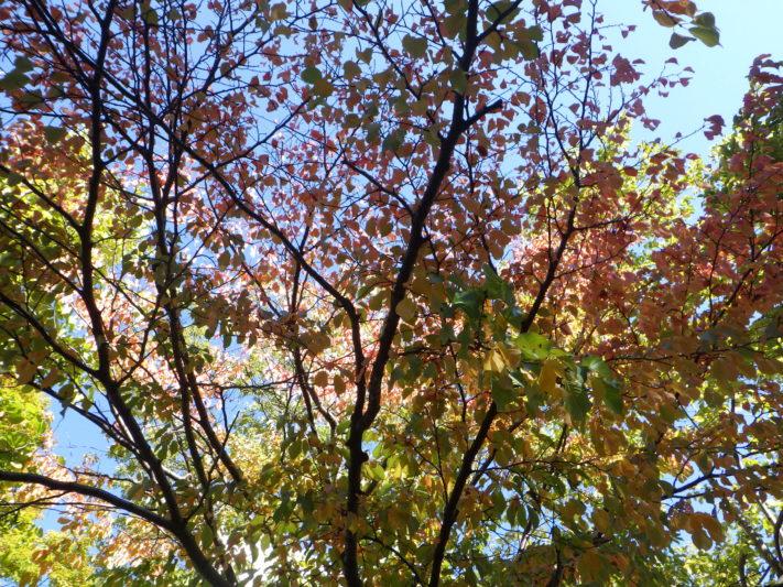 西6丁目北側紅葉