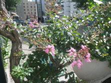 西7サルスベリの花の画像