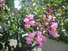 西7 サルスベリの花の画像