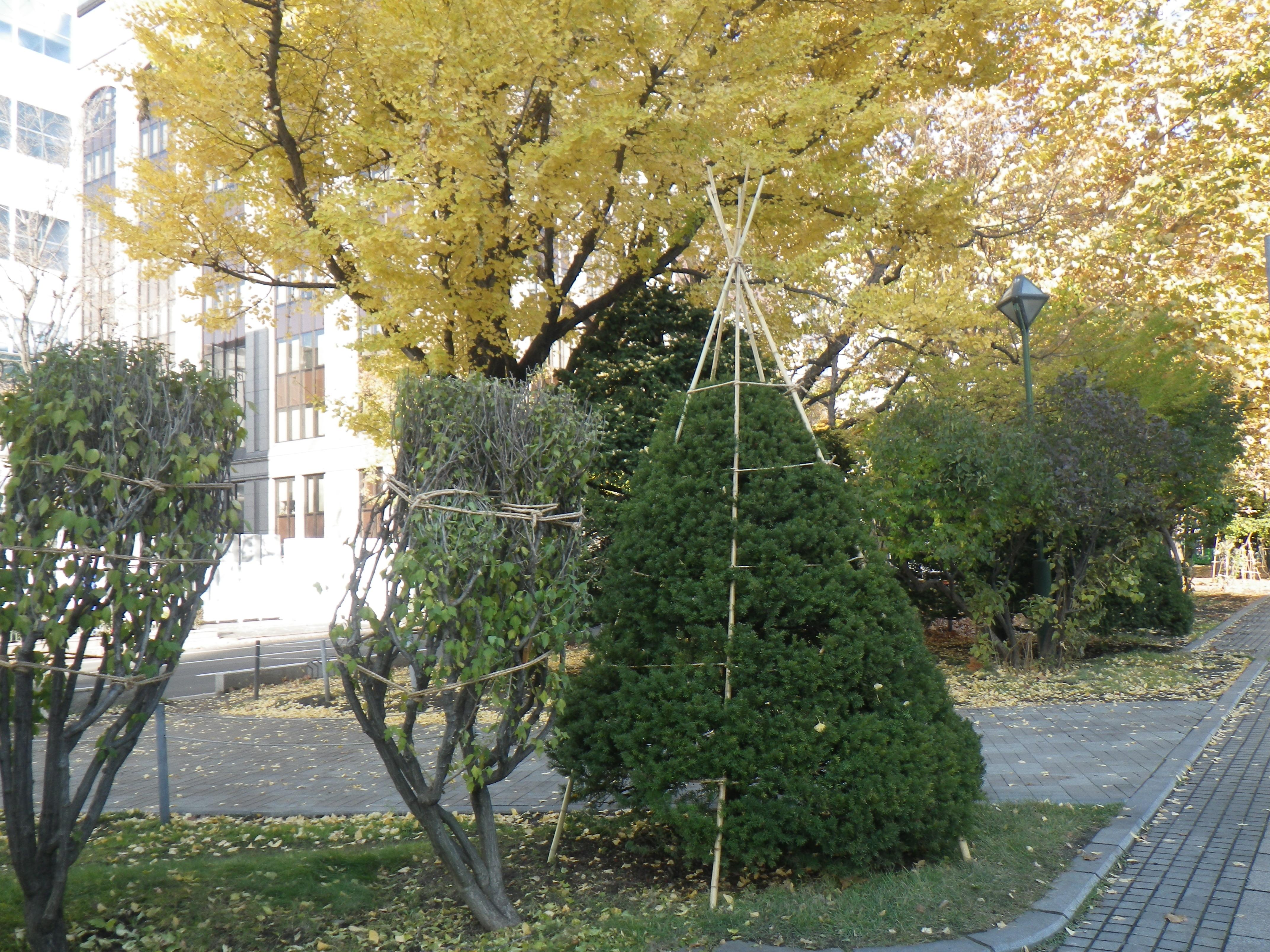 樹木の冬囲いの画像