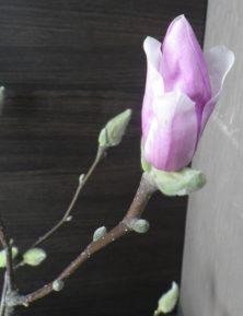 花びらが開いてきているサラサモクレンの蕾の2月14日の画像