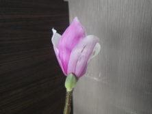 花が開き始めている2番目に色づいたサラサモクレン2月18日の画像