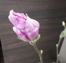 花びらが開き始めた3番目に色づいたサラサモクレンの2月19日の画像