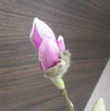 花びらが少し開き始めた4番目に色づいたサラサモクレンの2月19日の画像
