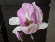 一番最初に咲いたサラサモクレンの花びらが開き雄しべと雌しべが見える2月20日の画像