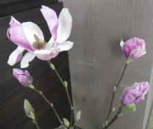 サラサモクレンが開ききった花1つと3つの蕾の2月21日の画像