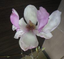 一番最初に咲いたサラサモクレンの花びらが開ききった2月21日の画像