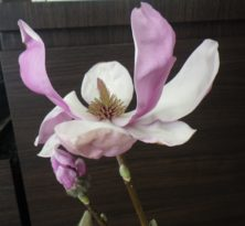 一番最初に咲いたサラサモクレンの花びらが開ききった2月22日の画像