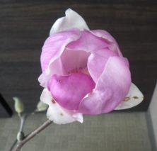2番目に色づいたサラサモクレンのより花びらが開いた上から撮影した2月22日の画像