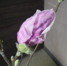 3番目に色づいたサラサモクレンの蕾が緩んでいる2月22日の画像