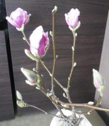 サラサモクレンの花1つと蕾4つの2月23日の画像