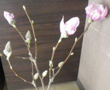 1つの花と4つの蕾のサラサモクレン2月24日の画像