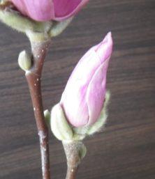 6番目に色づいたピンクのサラサモクレンの蕾2月25日の画像
