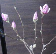サラサモクレンの4つの蕾の2月27日の画像