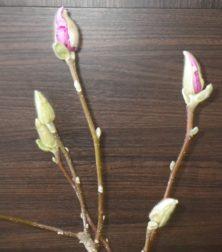 蕾が緩み始めピンクの花びらが見え始めたサラサモクレン2月7日の画像