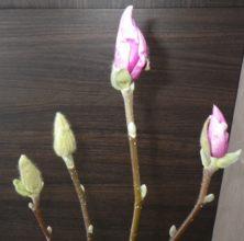 ピンクの花びらが見えるサラサモクレンとまだ見えない蕾の2月9日の画像